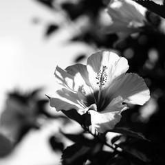 hibiskus 03