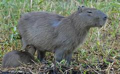 Capybaras (Hydrochoerus hydrachaeris) female and young suckling ...