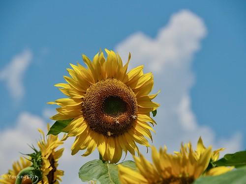 2019 Sunflower #1