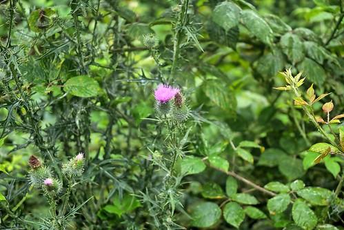 20190716 014 Maasbree Dubbroek, Speerdistel - Cirsium vulgare