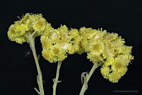 Sand-Strohblume (Helichrysum arenarium)