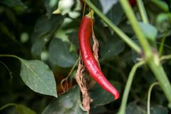 Close-up of a red pepper