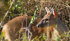Grey Brocket Deer (Mazama gouazoubira) male ...