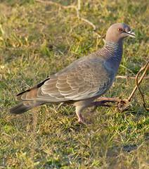Picazuro Pigeon (Patagioenas picazuro)