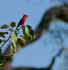 Scarlet Flycatcher (Pyrocephalus rubinus) male ...
