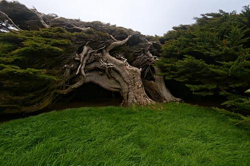 Windblown Tree