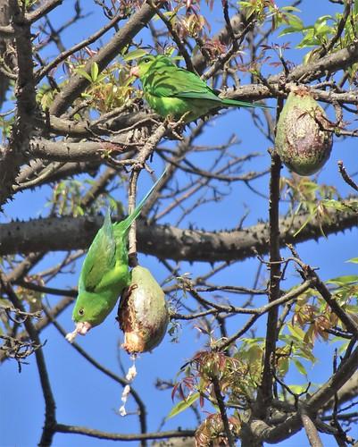 brazilian parakeet