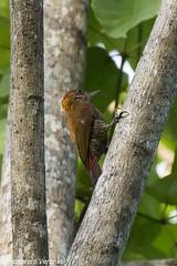 red-rumped Woodpecker - Darien - Panama CD5A8161