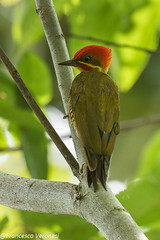 Golden-green Woodpecker - Darien - Panama CD5A2075