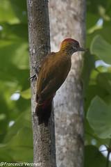 Red-rumped Woodpecker - Darien - Panama CD5A8173