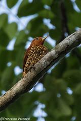 Cinnamon Woodpecker - Darien - Panama CD5A8110