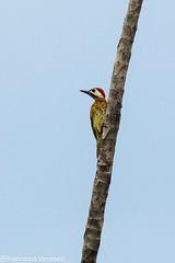 Spot-breasted Woodpecker - Darien - Panama CD5A9061