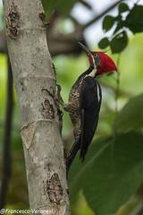 Lineated Woodpecker - Darien - Panama CD5A0523