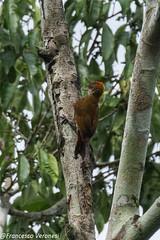 Red-rumped Woodpecker - Darien - Panama