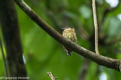 Olivaceous Piculet - Darien - Panama