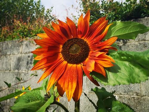 This year we grew Sunflowers
