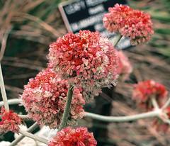 J20170803-0006—Eriogonum latifolium—RPBG—DxO