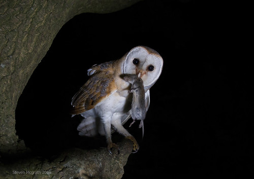 Barn owl female  (Tyto Alba)