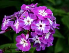 The purple beauty.