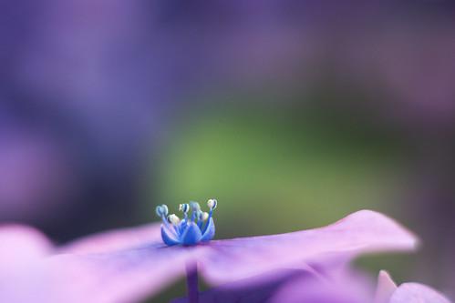 hidrangea flower