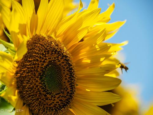 2019 Sunflower #2