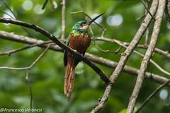 Rufous-tailed Jacamar - Darien - Panama CD5A1697