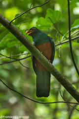 Slaty-tailed Trogon - Parque Metropolitano - Panama CD5A6136