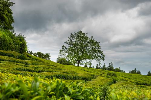 Tea Tree.