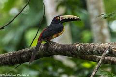 Collared Aracari - Darien - Panama CD5A0468