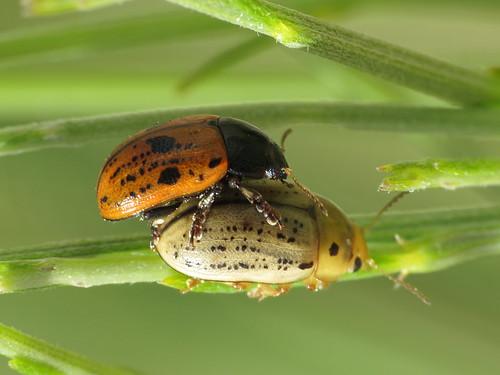 Gonioctena variabilis (Broom Leaf Beetle) (Chrysomelidae - Leaf Beetles)