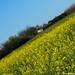2007.04.08. Virágzó repcemező Szegvár határában - Fotók:PURGEL ZOLTÁN©