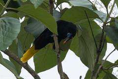 Black Oropendula - Darien - Panama CD5A9122