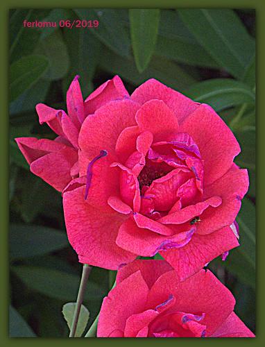 Ocaña (Toledo) 20190622 06 rosa