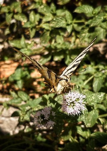Podalirio, (Iphiclides podalirius feisthamelii)