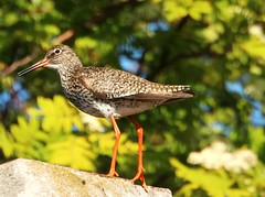 The redshank