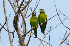 Orange-chinned Parakeet - Darien - Panama CD5A7536