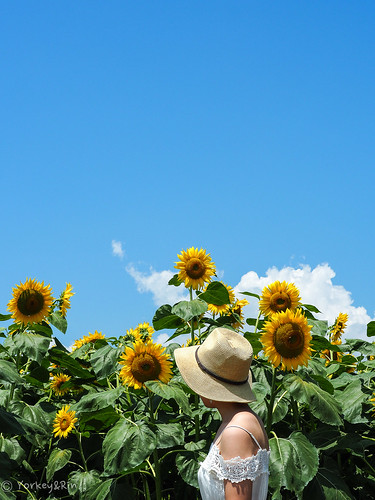 2019 Sunflower field #1