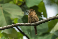 Barred Puffbird - Darien - Panama CD5A0208