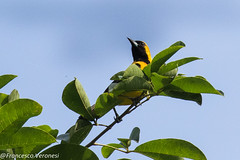 Yellow-backed Oriole - Darien - Panama CD5A8510