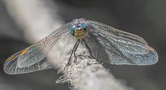 ♥ Dragonfly ♥