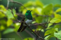 Snowy-bellied Hummingbird - Torti - Panama CD5A2463