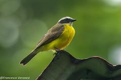 Social Flycatcher - Parque Metropolitano - Panama City CD5A6050