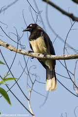 Black-chested Jay - Darien - Panama  CD5A8360