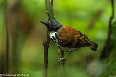 Spotted Antbird - Darien - Panama CD5A9198
