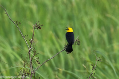 Yellow-hooded Blackbird - Darien - Panama CD5A8886