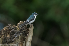 Mangrove Swallow - Darien - Panama CD5A9602