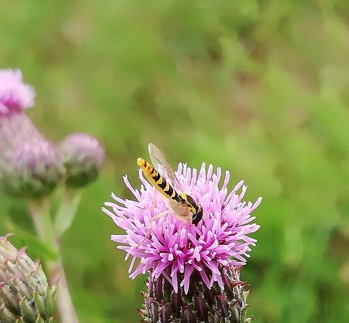 Sehr kleine, schmale, fast senkrecht schwebende Wespe?