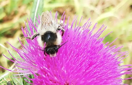 Biene (unbestimmt) (Apidae indet.) (3)