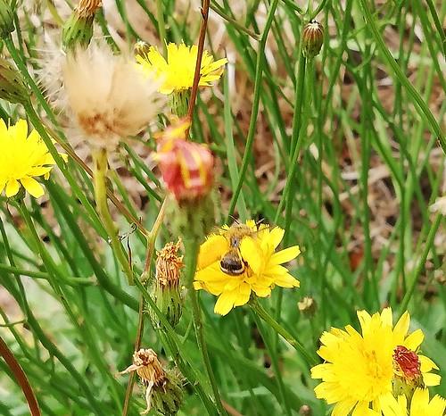 Biene (unbestimmt) (Apidae indet.) (2)