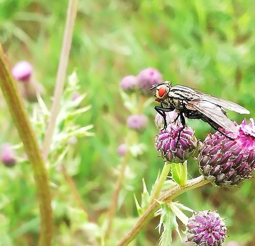 Fliege (unbestimmt) (Brachycera indet.) (2)
